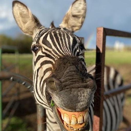 457 - Perché le zebre sono a strisce e non a macchie?